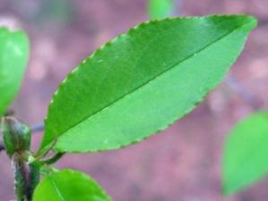 thumb Amerikaanse vogelkers Prunus serotina