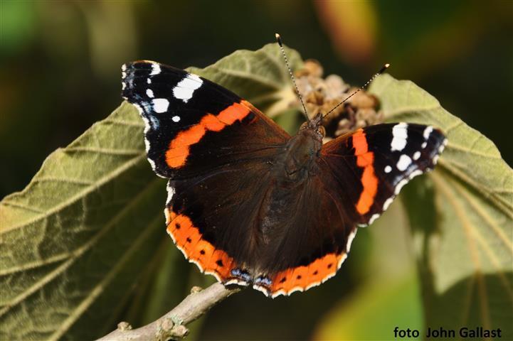 2019 04 natuurtip Atalanta john Gallast Small