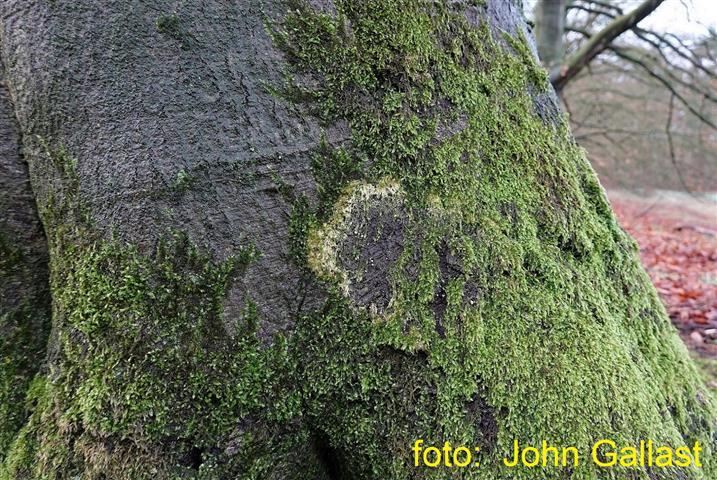 Mosschelpje heksenkring 20200201 Small